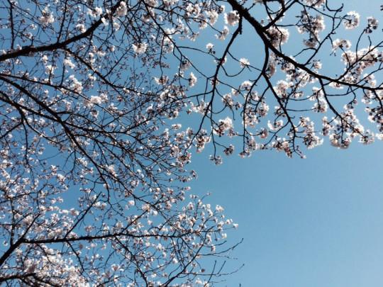 祐徳稲荷神社でお花見を