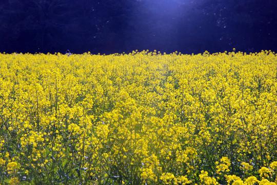 展海峰には満開の菜の花畑